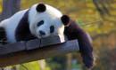 Parc Pairi Daiza et ses pandas